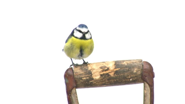 blue tit - songbird stock videos & royalty-free footage