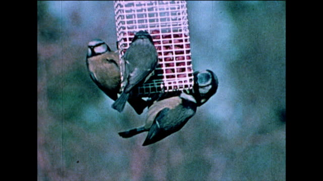 blue tits eat peanuts from bird feeders; 1978 - bbc archive stock-videos und b-roll-filmmaterial
