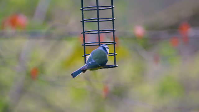 blue tits feeding on fat ball, scarborough, north yorkshire, england - 英国スカーブラ点の映像素材/bロール
