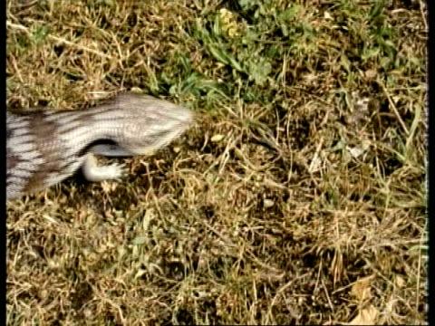 ms blue tongued skink, tiliqua scincoides, walks past over grassy ground, topshot, australia - blick nach unten stock-videos und b-roll-filmmaterial