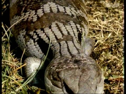 cu blue tongued skink, tiliqua scincoides, walks past over grassy ground, topshot, australia - blick nach unten stock-videos und b-roll-filmmaterial