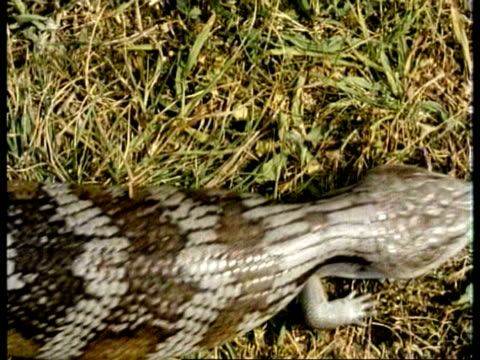 MS Blue tongued Skink, Tiliqua scincoides, walks past over grassy ground, topshot, Australia