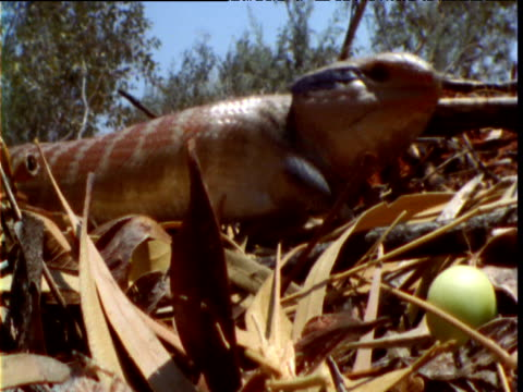 "vidéos et rushes de blue tongued skink walks past egg in outback, australia - ""bbc natural history"""