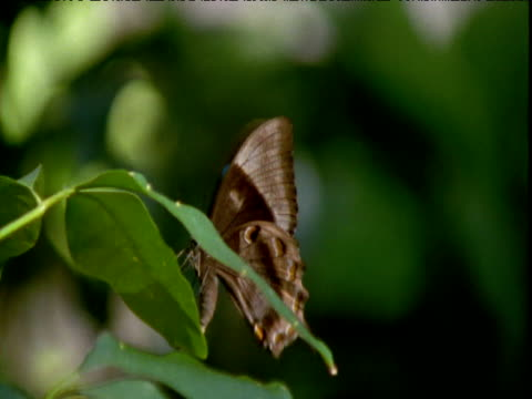 "vidéos et rushes de blue ulysses swallowtail butterfly lays eggs on leaf, queensland - ""bbc natural history"""