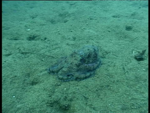 blue veined octopus, changes colour to camouflage itself against sand, sulawesi. - 色が変わる点の映像素材/bロール