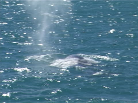 Blue whale blow or spout