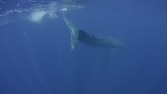 blue whale dives, sri lanka. - blauwal stock-videos und b-roll-filmmaterial