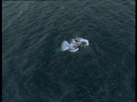 Blue Whale feeds.