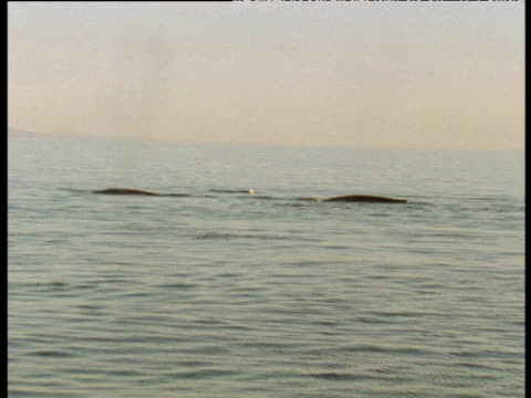 Blue whale pod surfaces and spouts water. Sea of Cortez