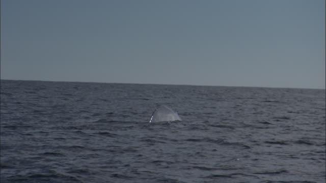 blue whale (balaenoptera musculus) raises flukes in pacific ocean, melinka, chile - blauwal stock-videos und b-roll-filmmaterial