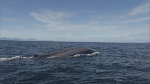 Blue whale (Balaenoptera musculus) spouts and raises flukes out of Pacific ocean, Melinka, Chile