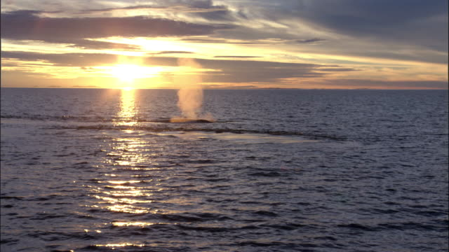 blue whale (balaenoptera musculus) spouts in front of sun in pacific ocean, melinka, chile - animals breaching stock videos & royalty-free footage