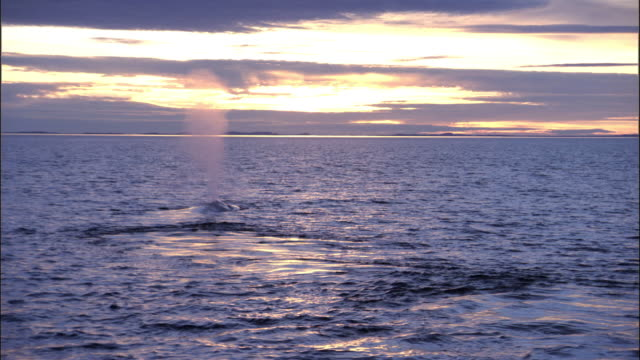 Blue whale (Balaenoptera musculus) surfaces and spouts in Pacific ocean at dusk, Melinka, Chile