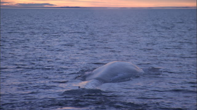 blue whale (balaenoptera musculus) surfaces and spouts in pacific ocean at dusk, melinka, chile - blauwal stock-videos und b-roll-filmmaterial