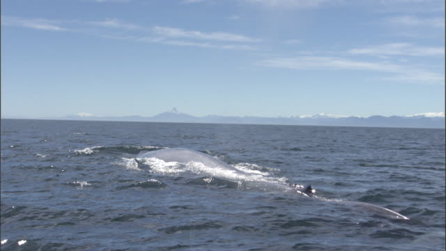 blue whale (balaenoptera musculus) surfaces and spouts in pacific ocean, melinka, chile - animals breaching stock videos & royalty-free footage