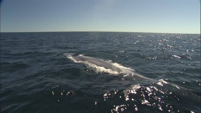 blue whale (balaenoptera musculus) surfaces and spouts in pacific ocean, melinka, chile - blauwal stock-videos und b-roll-filmmaterial