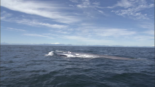 Blue whale (Balaenoptera musculus) surfaces and spouts in Pacific ocean, Melinka, Chile