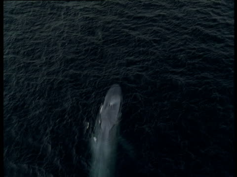 Blue Whale surfaces and spouts, Monterey Bay, California