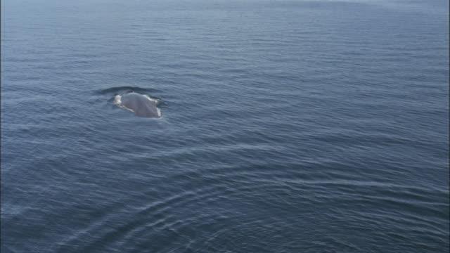 vídeos y material grabado en eventos de stock de blue whale (balaenoptera musculus) surfaces, spouts and defecates in pacific ocean, melinka, chile - excremento