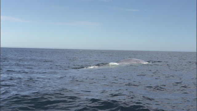 Blue whale (Balaenoptera musculus) surfaces, spouts and raises flukes in Pacific ocean, Melinka, Chile