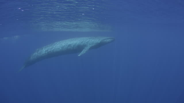 blue whale surfaces, sri lanka. - biggest stock videos & royalty-free footage