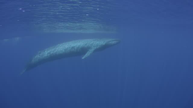 blue whale surfaces, sri lanka. - blauwal stock-videos und b-roll-filmmaterial
