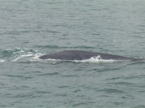 Blue whale surfacing slowly