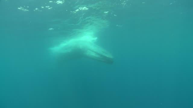 ms blue whale swimming in underwater / mirissa, southern province, sri lanka   - blauwal stock-videos und b-roll-filmmaterial