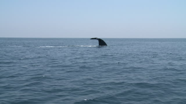 MS POV Blue whale swimming surface of ocean / Mirissa, Southern province, Sri Lanka