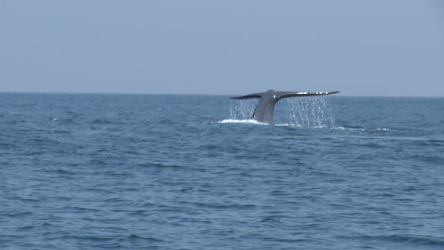 ms pov blue whale swimming surface of ocean / mirissa, southern province, sri lanka   - blauwal stock-videos und b-roll-filmmaterial
