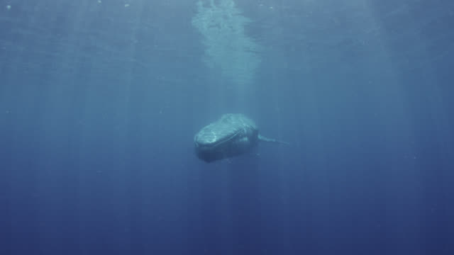 blue whale swims past camera, sri lanka. - wal stock-videos und b-roll-filmmaterial