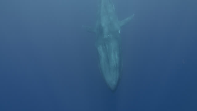 blue whale swims past camera, sri lanka. - blue whale stock videos & royalty-free footage