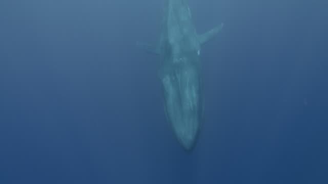 vídeos de stock, filmes e b-roll de blue whale swims past camera, sri lanka. - baleia azul
