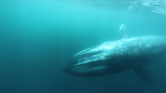 blue whale underwater - james whale stock-videos und b-roll-filmmaterial
