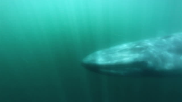 blue whale underwater - blue whale stock videos & royalty-free footage