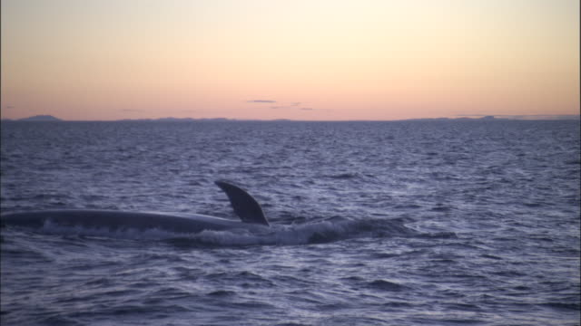 blue whale (balaenoptera musculus) waves flipper in pacific ocean at sunset, melinka, chile - blue whale stock videos & royalty-free footage