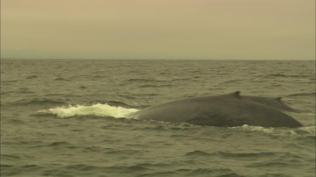 blue whales surface and dive. - シロナガスクジラ点の映像素材/bロール