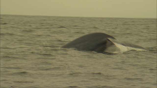 a blue whale's tail slips under the surface of the ocean. - シロナガスクジラ点の映像素材/bロール