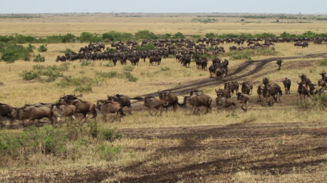 blue wildebeest (connochaetes taurinus)- a herd walk and run in savanna plans - large group of animals stock videos & royalty-free footage