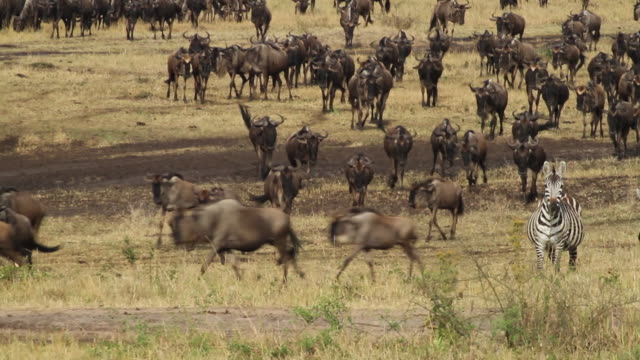 blue wildebeest (Connochaetes taurinus)- a herd walk and run in savanna plans