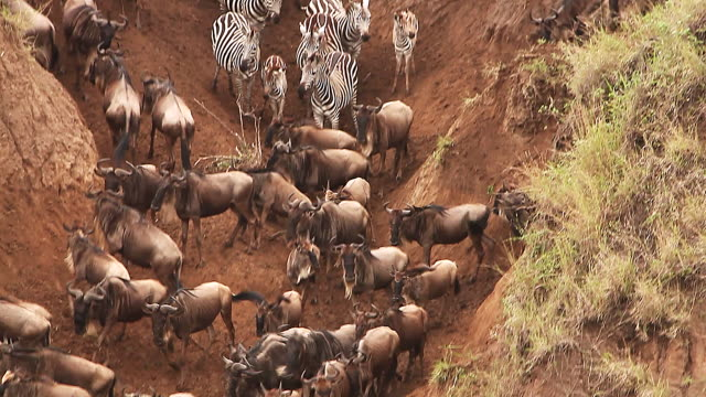 ms td blue wildebeest and burchell's zebra crossing river during migration / national park, africa, kenya - herbivorous stock videos and b-roll footage