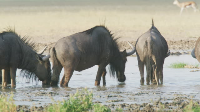 blue wildebeest at a waterhole in the central kalahari game reserve - 水場点の映像素材/bロール
