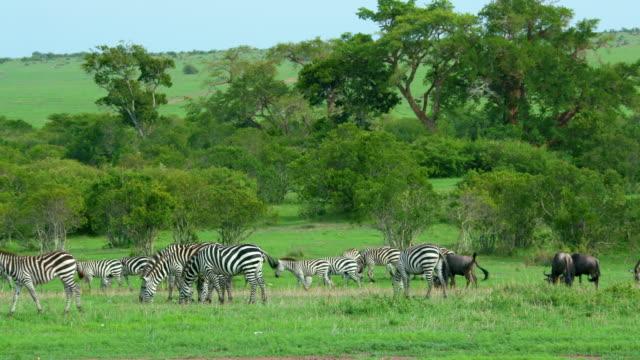 Blue Wildebeest & Burchell's Zebra Grazing Maasai Mara, Kenya, Africa