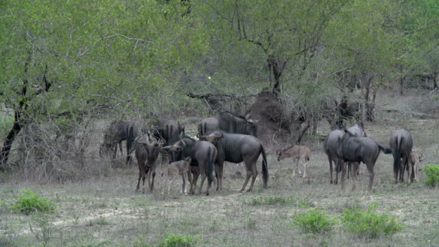 a blue wildebeest calf takes its first steps in kruger national park, south africa - mpumalanga province stock videos and b-roll footage
