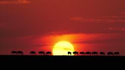 Blue Wildebeest, Connochaetes taurinus at Sunset, Masai Mara Park in Kenya, Real Time 4K