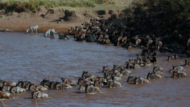 vídeos y material grabado en eventos de stock de blue wildebeest crossing mara river maasai mara  kenya  africa - pradera