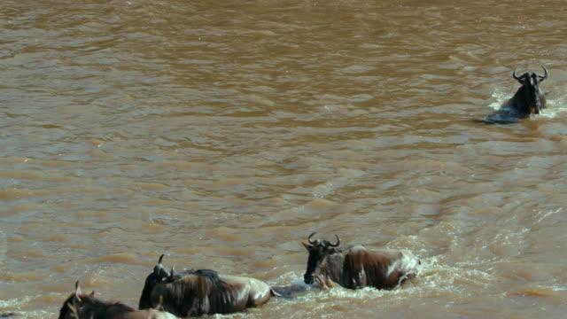 blue wildebeest crossing mara river maasai mara  kenya  africa - antilope stock-videos und b-roll-filmmaterial