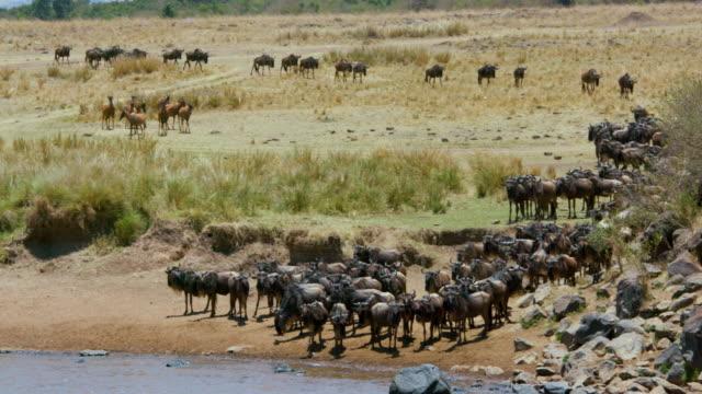 Blue Wildebeest Gathering At River Maasai Mara  Kenya  Africa