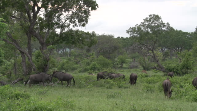 blue wildebeest herd feeds in an open lush clearing in kruger national park, south africa - mpumalanga province stock videos and b-roll footage
