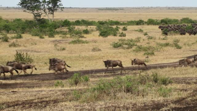 blue wildebeest (connochaetes taurinus)- herd of wildebeest running in savannah - herde stock-videos und b-roll-filmmaterial